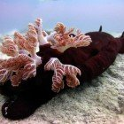 Spanish dancer / Hexabranchus sanguineus\