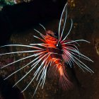 Clearfin lionfish / Pterois radiata\