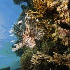 Russel\'s lionfish / Pterois russelli