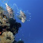 Russel\'s lionfish / Pterois russelli\