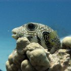 Whitespotted puffer / Arothron hispidus\