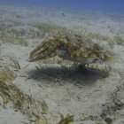 Hooded cuttlefish / Sepia prashadi\