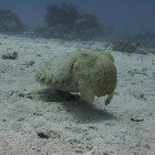 Hooded cuttlefish / Sepia prashadi