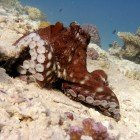 Big red octopus / Octopus cyaneus