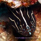 Six-striped soapfish / Grammistes sexlineatus\