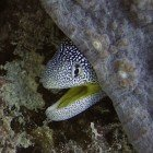 Yellowmouth moray / Gymnothorax nudivomer\