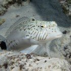 Speckled sandperch / Parapercis hexophthalma\