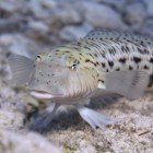 Speckled sandperch / Parapercis hexophthalma