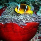 Red Sea anemonfish / Amphiprion bicinctus\