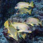 Blackspotted sweetlips / Plectorhinchus gaterinus\