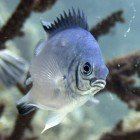Pale damselfish / Amblyglyphidodon indicus