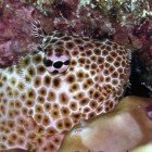 Leopard blenny / Exallias brevis\