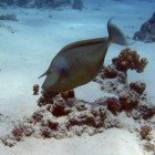 Short-nose unicornfish / Naso unicornis\