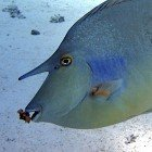 Short-nose unicornfish / Naso unicornis