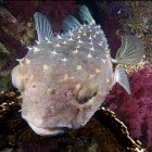 Yellowspotted burrfish / Cyclichthys spilostylus\