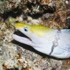 Yellowheaded morey / Gymnothorax rueppelliae\
