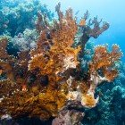 Net fire coral / Millepora dichotoma\