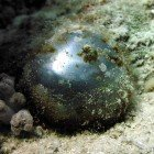 Sailor\'s eyeball / Valonia ventricosa\