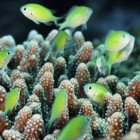 Bluegreen puller / Chromis viridis\