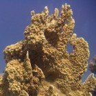 Plate fire coral / Millepora platyphylla\