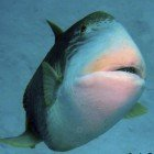 Yellowmargin triggerfish / Pseudobalistes flavimarginatus\