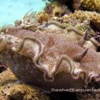 Brown-edged glossodorid / Glossodoris hikuerensis\