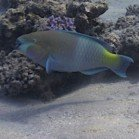Rusty parrotfish / Scarus ferrugineus\