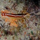 White-banded cleaner shrimp / Lysmata amboinensis