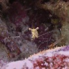 Long-arm shrimp / Periclimenes tenuipes\
