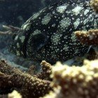 Summana grouper / Epinephelus summana\