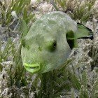 Seagrass puffer / Arothron immaculatus