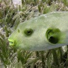 Seagrass puffer / Arothron immaculatus\