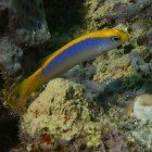 Sunrise dottyback / Pseudochromis flavivertex\