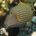 Orange-striped triggerfish / Balistapus undulatus\