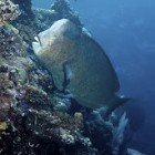 Humphead parrotfish / Bolbometopon muricatum\