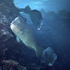 Humphead parrotfish / Bolbometopon muricatum