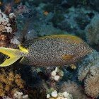 Starry rabbitfish / Siganus stellatus\