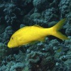 Yellowsaddle goatfish / Parupeneus cyclostomus\