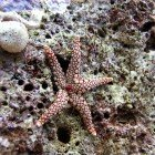 Pearl sea star / Fromia monilis\