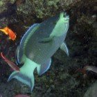 Bridled parrotfish / Scarus frenatus\