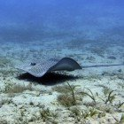 Darkspotted stingray / Himantura uarnak\