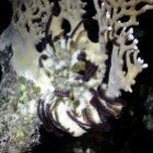 Klunzinger\'s feather star / Lamprometra klunzingeri\