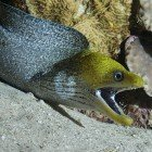 Undulated moray / Gymnothorax undulatus\