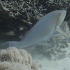 Indian longnose parrotfish / Hipposcarus harid\