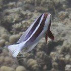 Red Sea fairy basslet / Pseudanthias taeniatus\