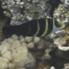 Red Sea thicklip wrasse / Hemigymnus fasciatus\