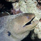 Giant Moray / Gymnothorax javanicus\