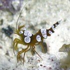 Squat cleaner shrimp / Thor amboinensis\