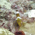 Squat cleaner shrimp / Thor amboinensis