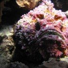 Stonefish / Synanceia verrucosa\